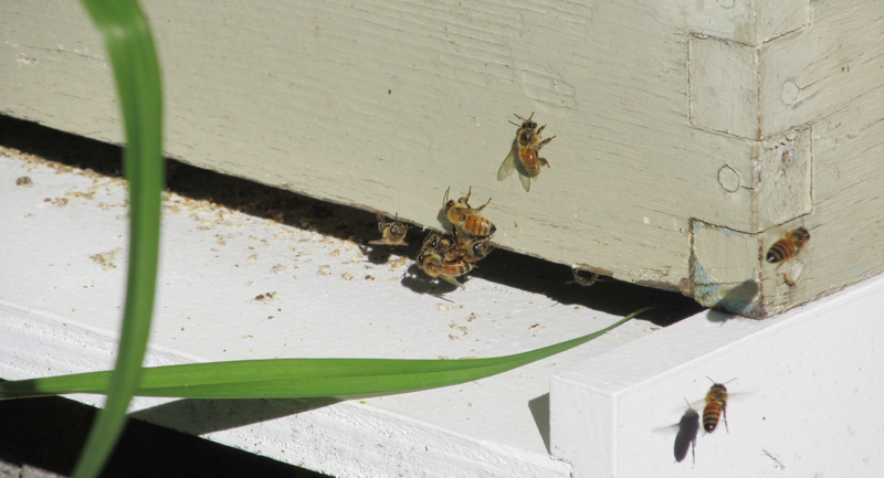 And finally, the bees: Our expert neighbor tells us the queen is laying babies. So they have settled into their new home. And, other than the beekeeper himself, no one has yet been stung.