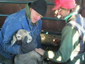 Dan, Tom and sheep 500p for website