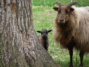 Reedbird Sheep 12-1